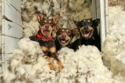 Dogs In The Wool Bin - James Braszell Photography